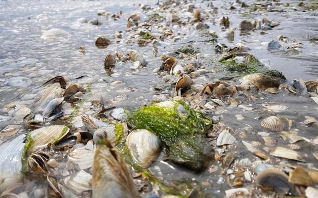 Das Wattenmeer - Muschelbank