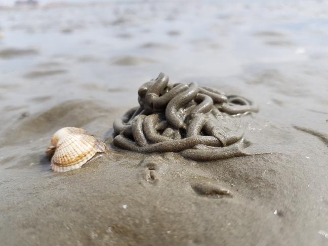 Das Wattenmeer - Wattwurm
